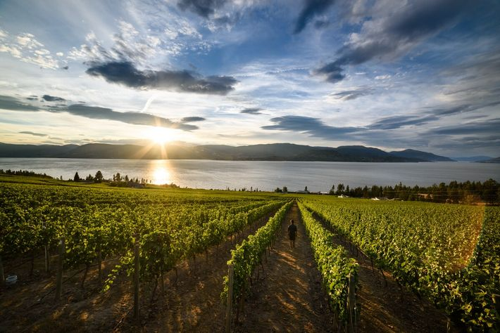 The lakeside city of Kelowna is home to more than 30 local vineyards.