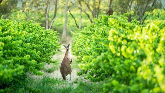 A wild kangaroo amongst the vines at Woodstock Vine winery