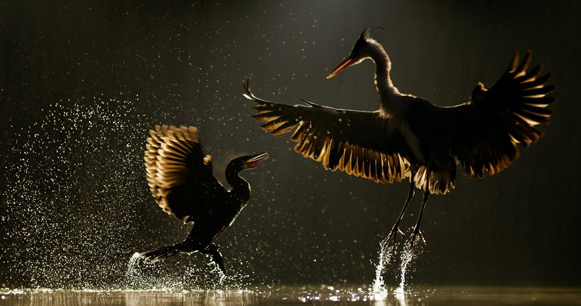 Hungarian wildlife photographer Bence Mate captured this image of a great cormorant trying to chase away ...