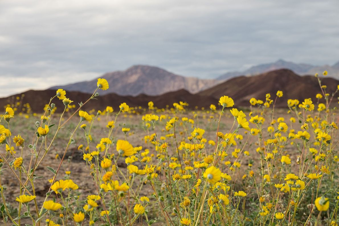 Wildflowers undergo a 'superbloom' in Death Valley National Park thanks to high amounts of rainfall from ...