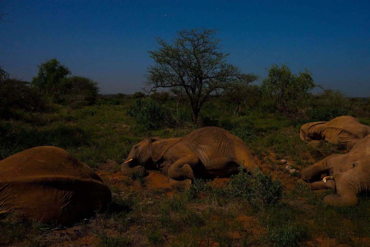 An elephant matriarch sleeping among her family in Samburu National Reserve, Kenya.