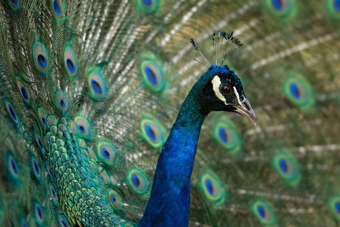 Peacock, Henry Doorly Zoo, Omhaha, Nebraska, United States.