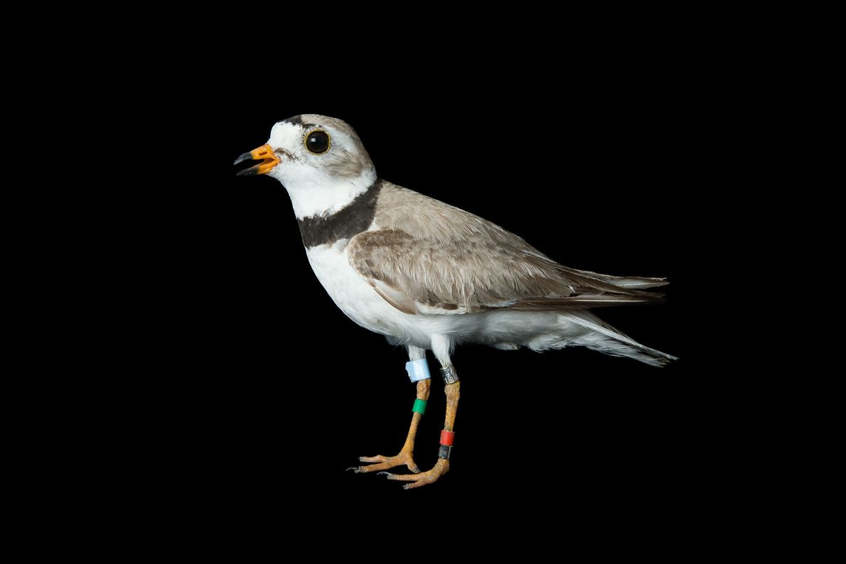 An endangered Piping plover, Charadrius melodus.