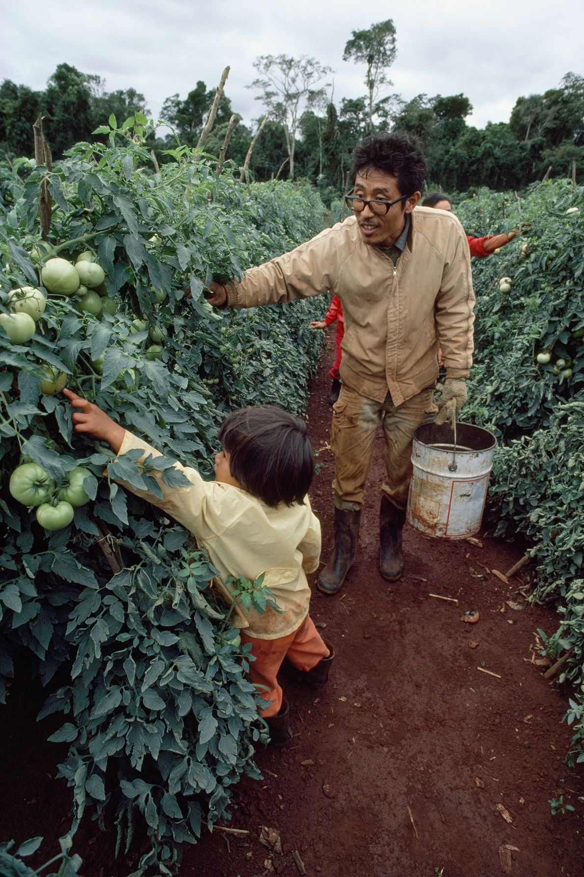 A Japanese immigrant harvests tomatoes with his daughter near Yguazú, Paraguay, in the 1980s.