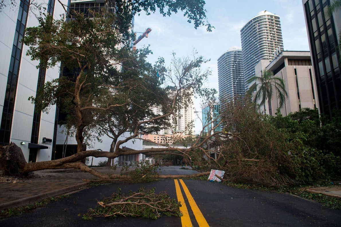 A fallen tree toppled by Hurricane Irma blocks a street in downtown Miami, Florida on September ...