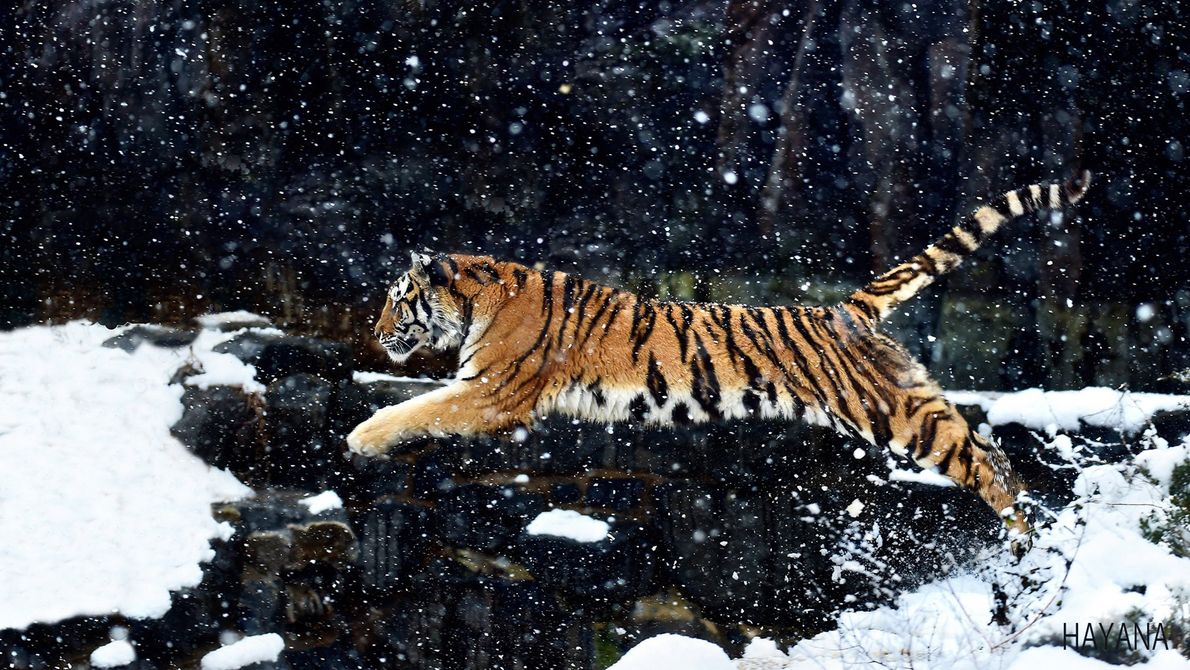 A tiger leaps through a snow-covered landscape.