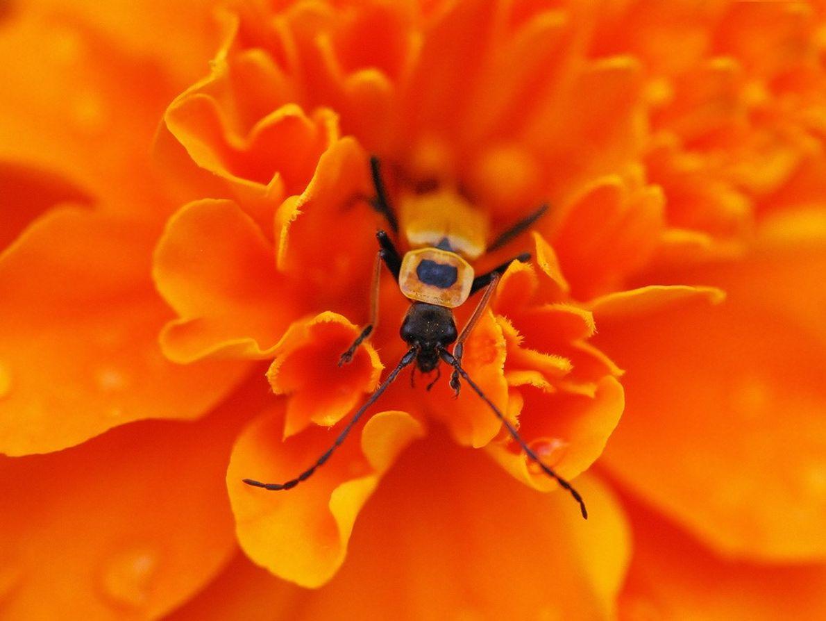 Leatherwing Beetle