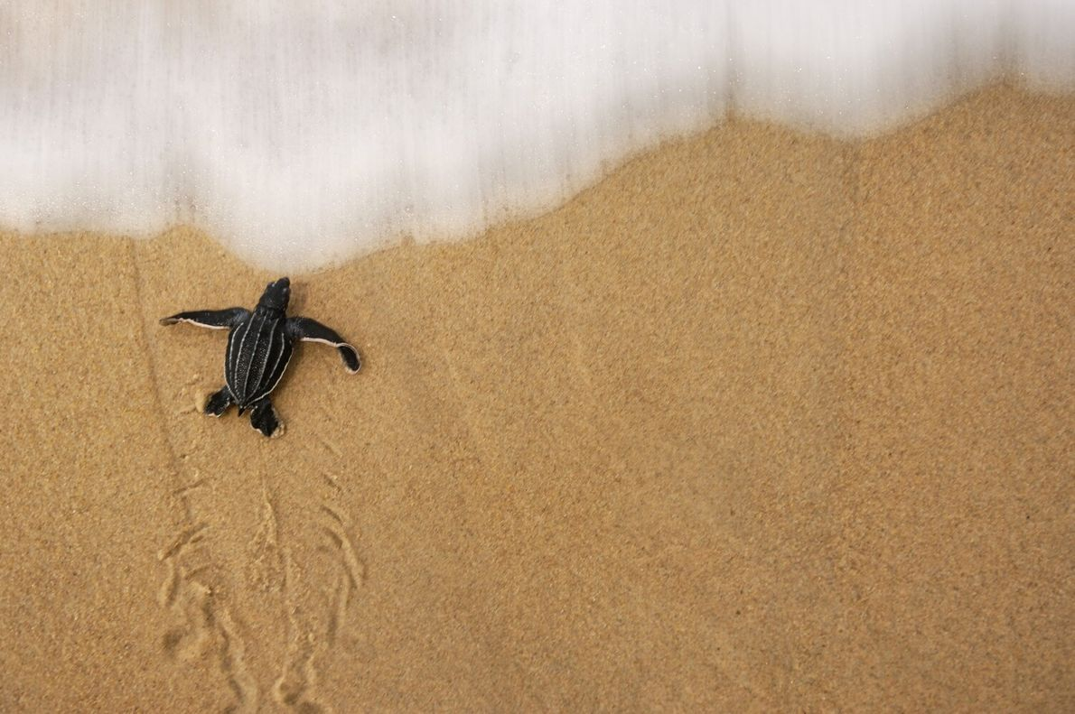 Picture of a hatchling leatherback turtle crawling into the sea