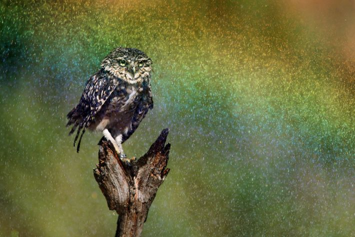 """""""This burrowing owl is enjoying a sprayer during the hot Summer days in the Netherlands,"""" writes ..."""