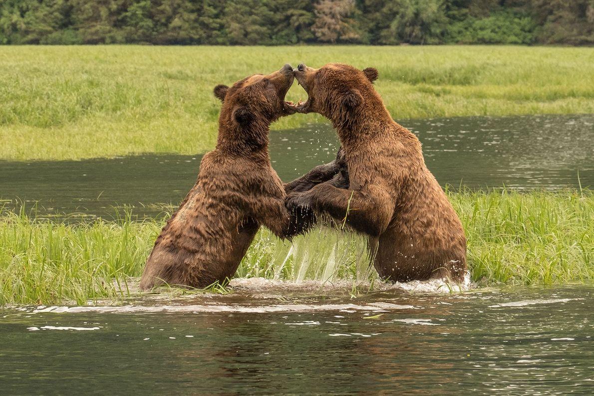 Bears grapple in Canada.