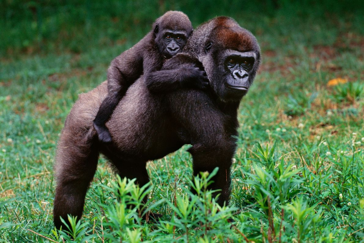 A lowland gorilla mother carries her baby in the Democratic Republic of the Congo.