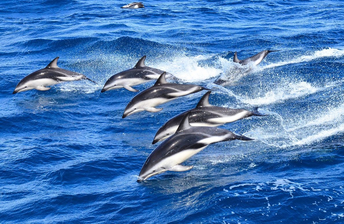 Striped dolphins usually travel in large numbers while periodically leaping from the water.