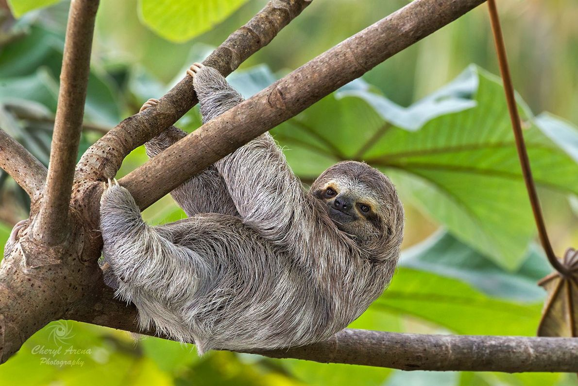 A three-toed sloth, seen in Puntarenas, Costa Rica.
