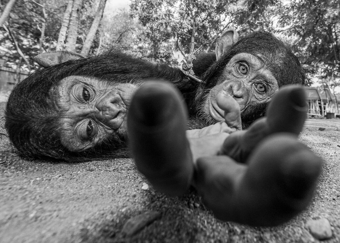 These forlorn-looking chimps were rescued in South Sudan from illegal trading. This image by conservation photographer ...
