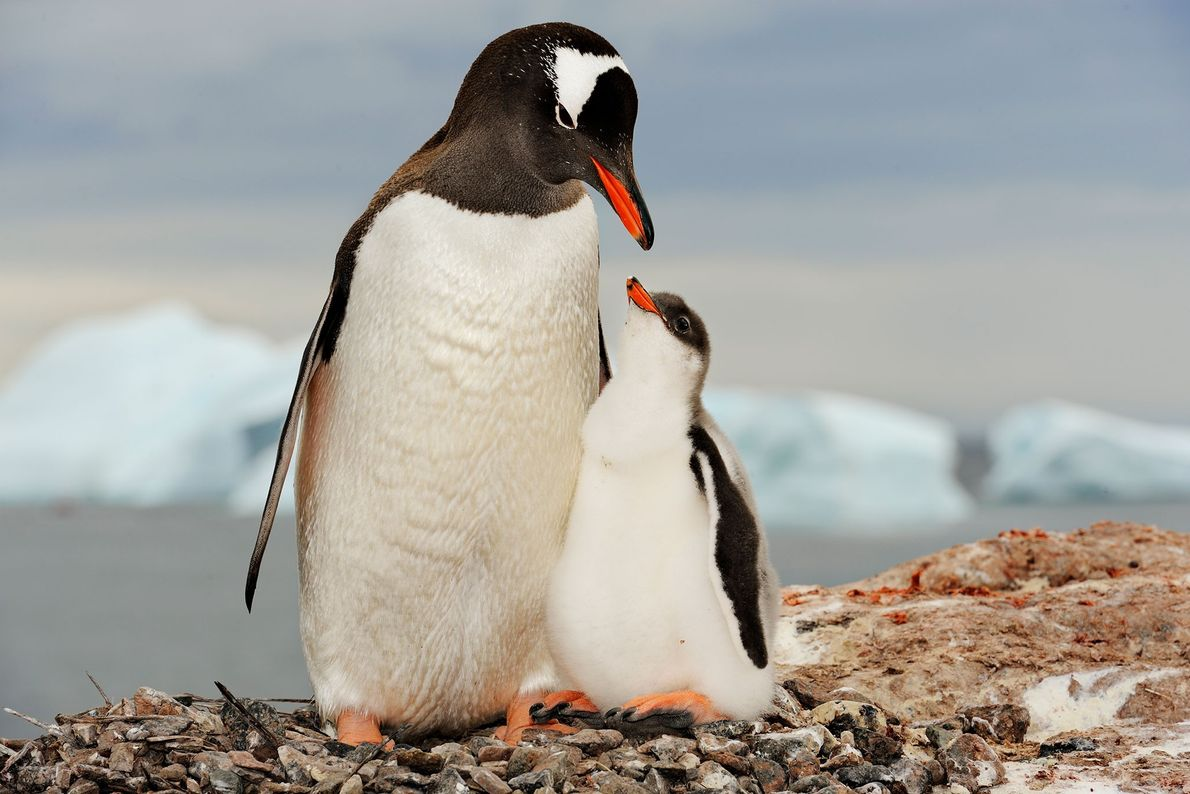 Gentoo penguin with chick, Antarctica.