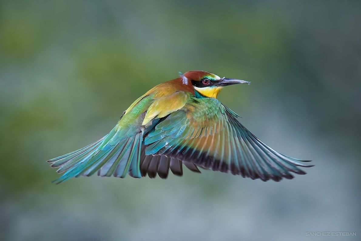 Bee-eater. Danube-Ipoly National Park, Hungary