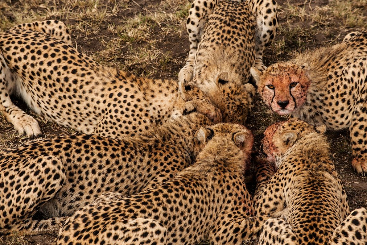 Young cheetahs feed on a Thomson's gazelle in Kenya's Masai Mara National Reserve.