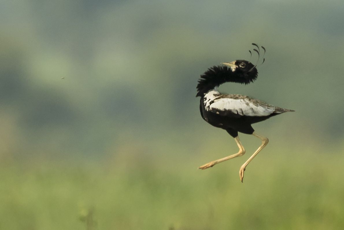 A lesser florican jumps in the air in Sokhaliya, India. They are known for their mating ...