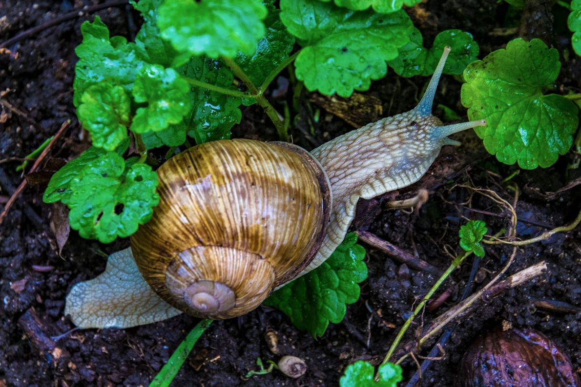 The humble garden snail was never a speedster. Pictured here in Starčevica, Republic of Srpska, Bosnia ...