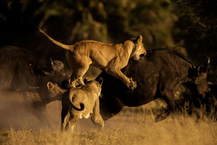 Female African lions pounce on an African buffalo in the Okavango Delta in Botswana.