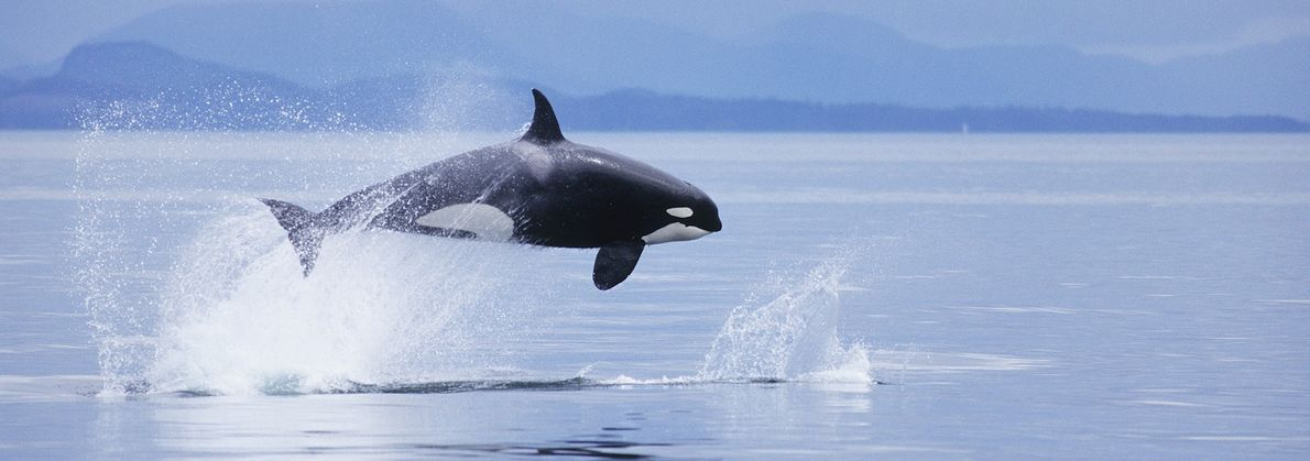 An orca pursues a Dall's porpoise in the waters of southeast Alaska.