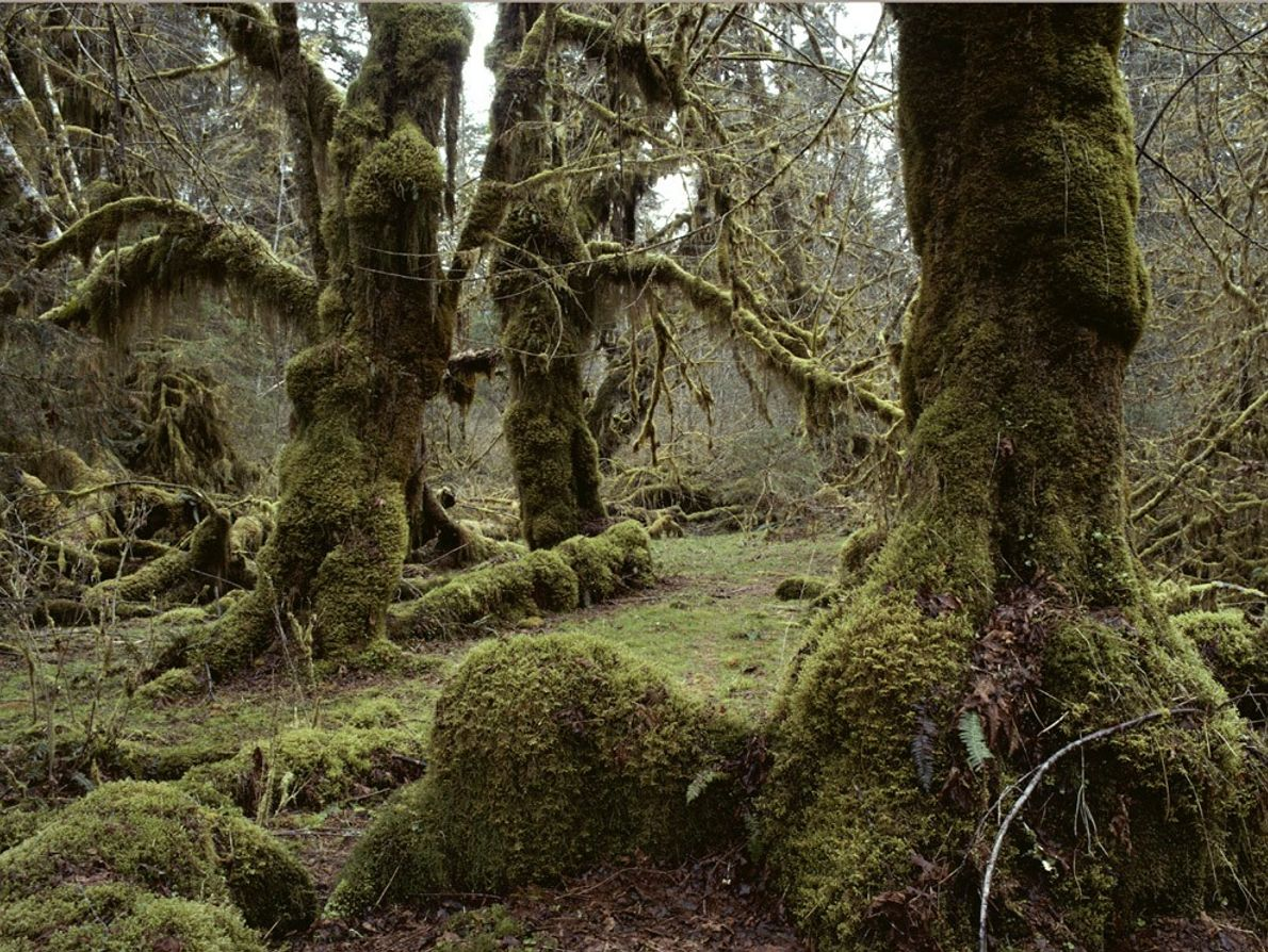 A U.S. temperate rain forest, the Hoh River Valley is part of Washington State's Olympic National ...