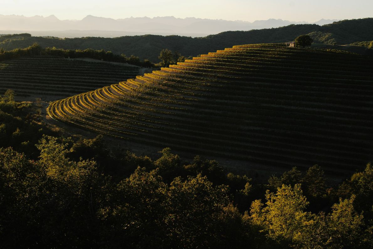 The morning sun shines its golden light over the historical vineyards of the Goriška wine region, ...