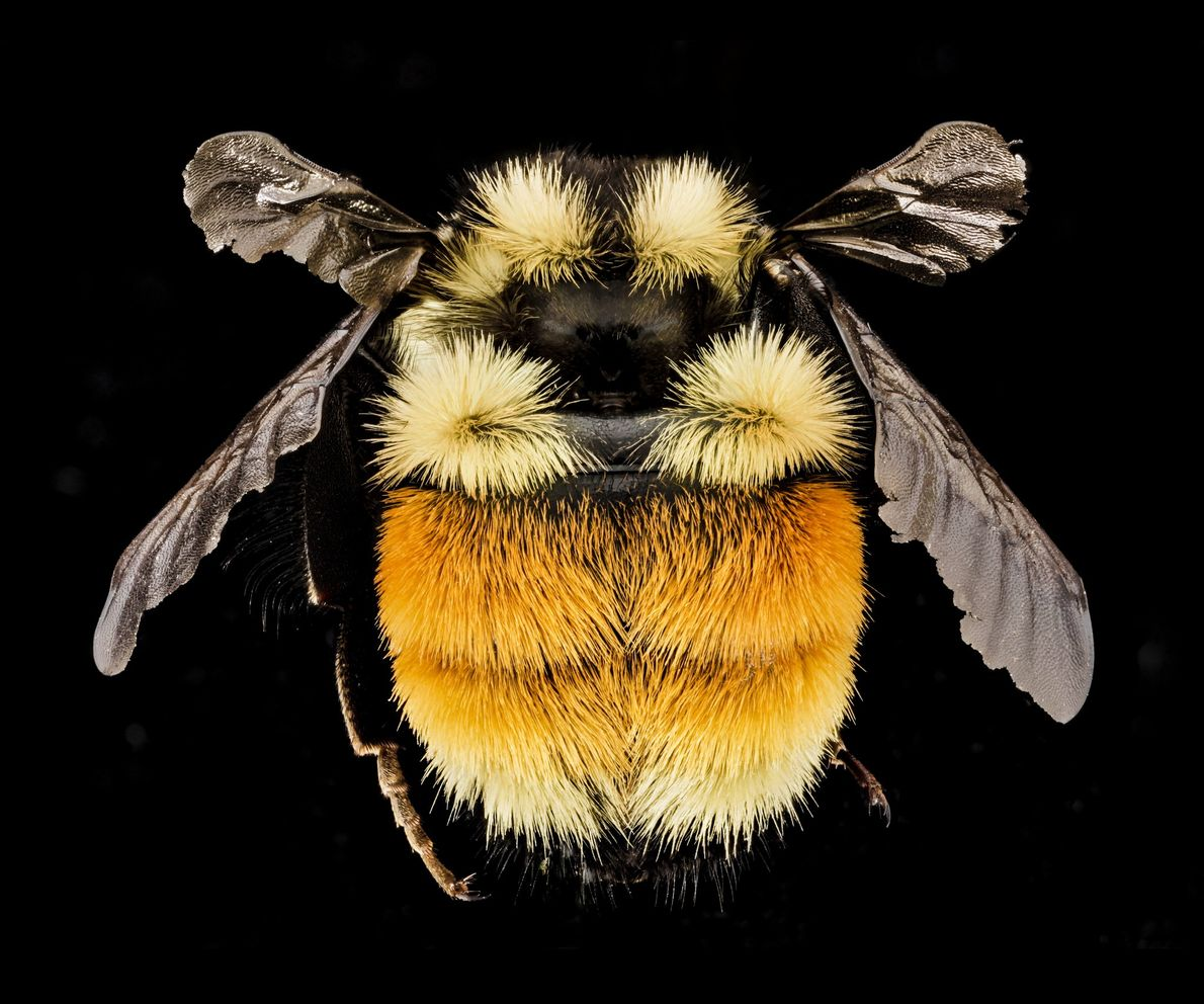 This tricoloured bumblebee (Bombus ternarius) is from the Adirondacks in New York State.
