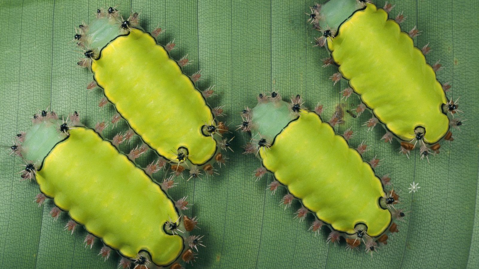 Bright green blue-nose caterpillars, Acharia ophelians, rest on a leaf.