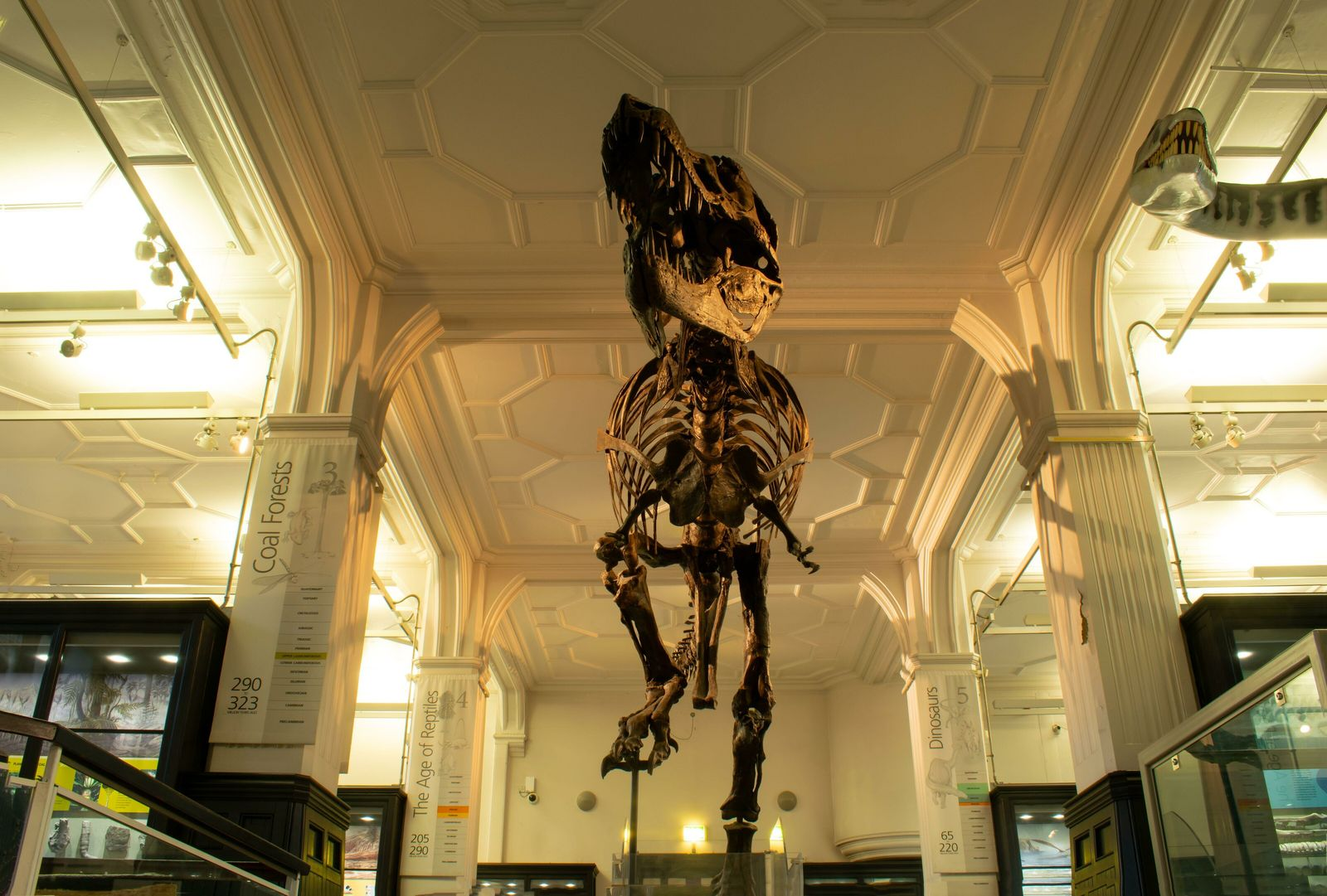 The University of Manchester Museum's cast of 'Stan,' a T.rex found by excavator Stan Sacrison in ...