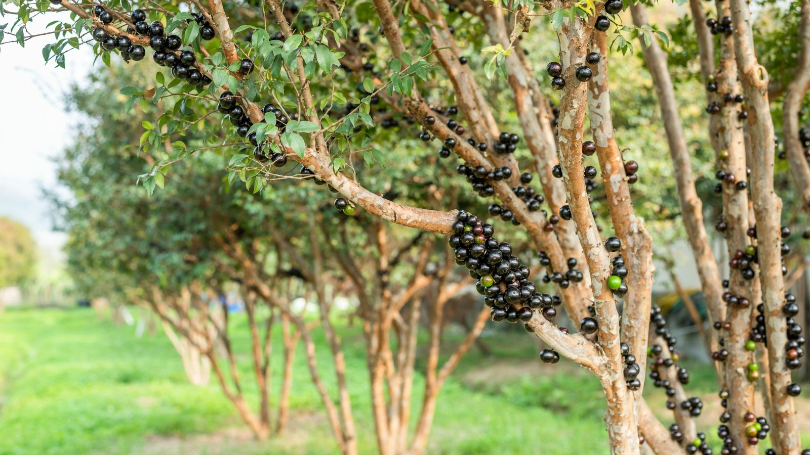 Jabuticaba berries grow by smothering the tree trunk rather than appearing among the leaves.