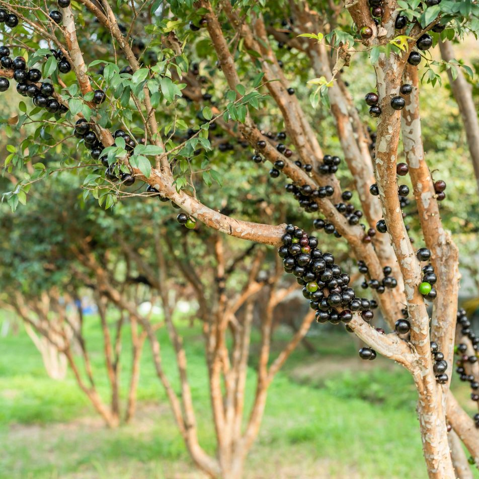 What are jabuticaba berries? Six things you need to know