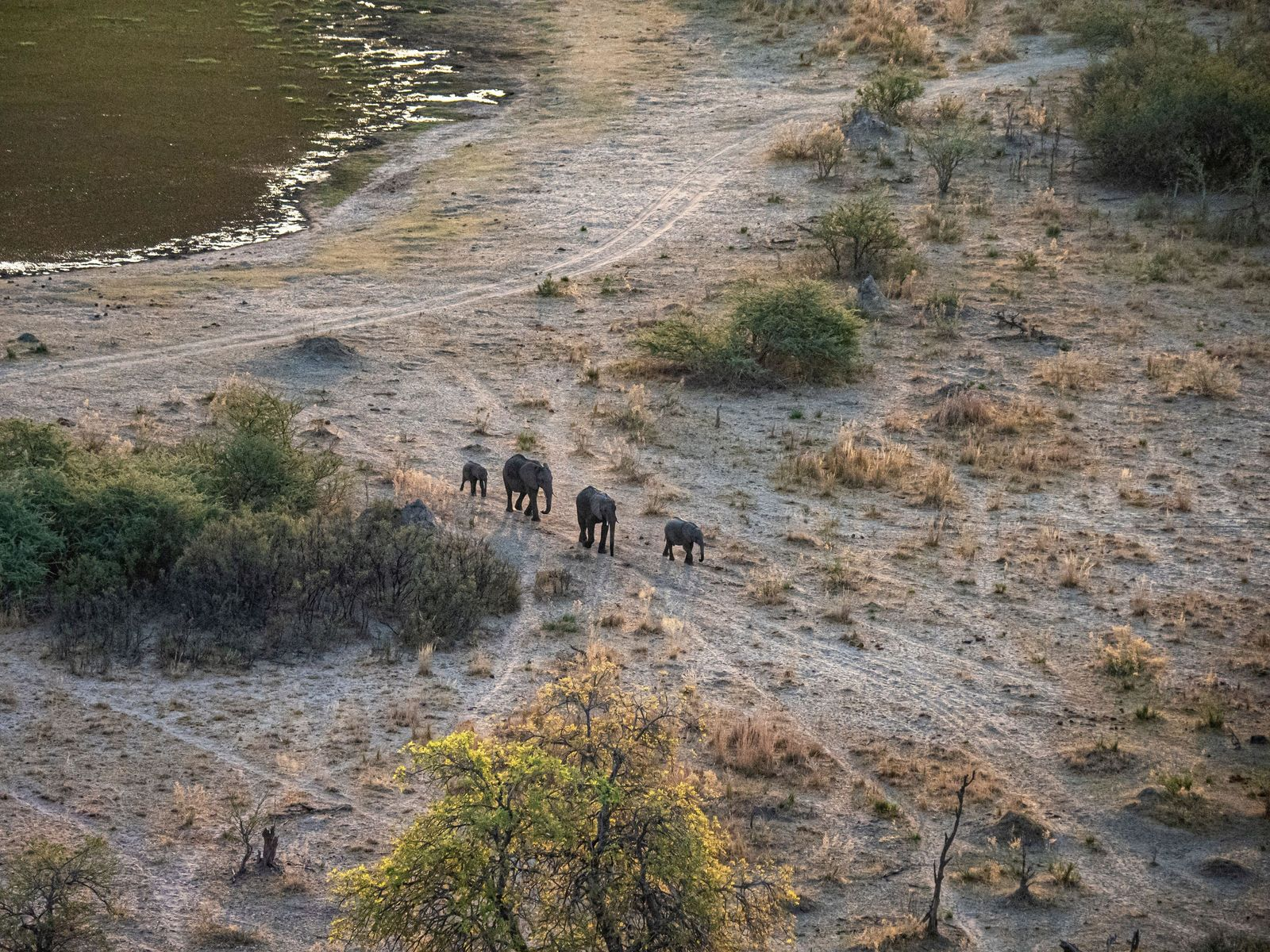 Aerial view of African elephants, in the Okavango Delta, Botswana. The region has been referred to as ...