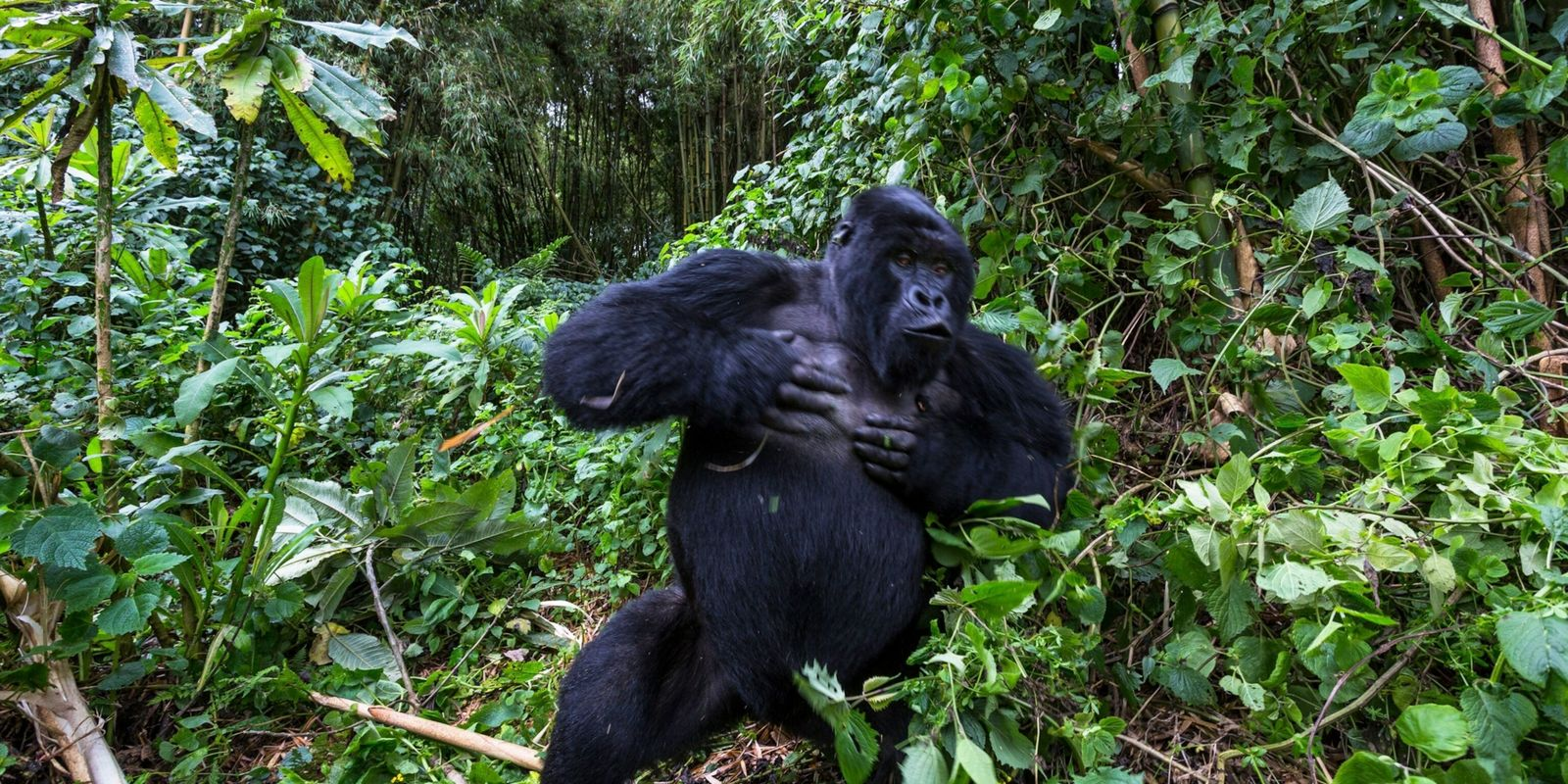 Why do male gorillas beat their chests? New study offers intriguing evidence