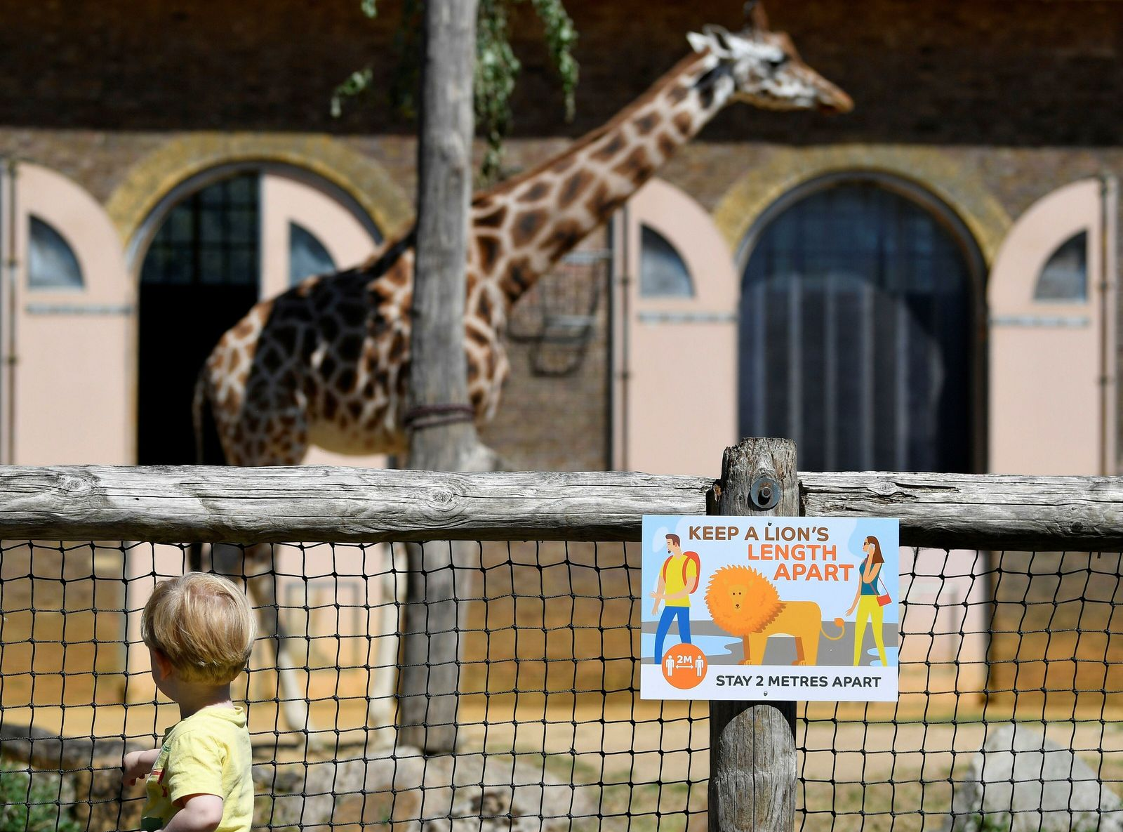 On 15 June a young visitor observes a giraffe - and new social distancing measures - at ZSL ...