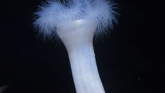 Sea anemones sometimes eat… ants. But why? And how?