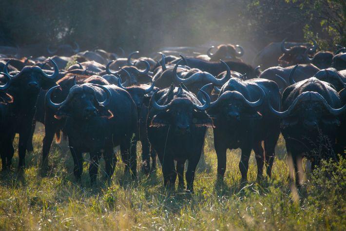 A herd of water buffalo in Botswana's Okavango delta, where the Jouberts attack took place in ...