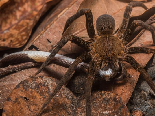 Spiders eat snakes around the world, shocking study reveals