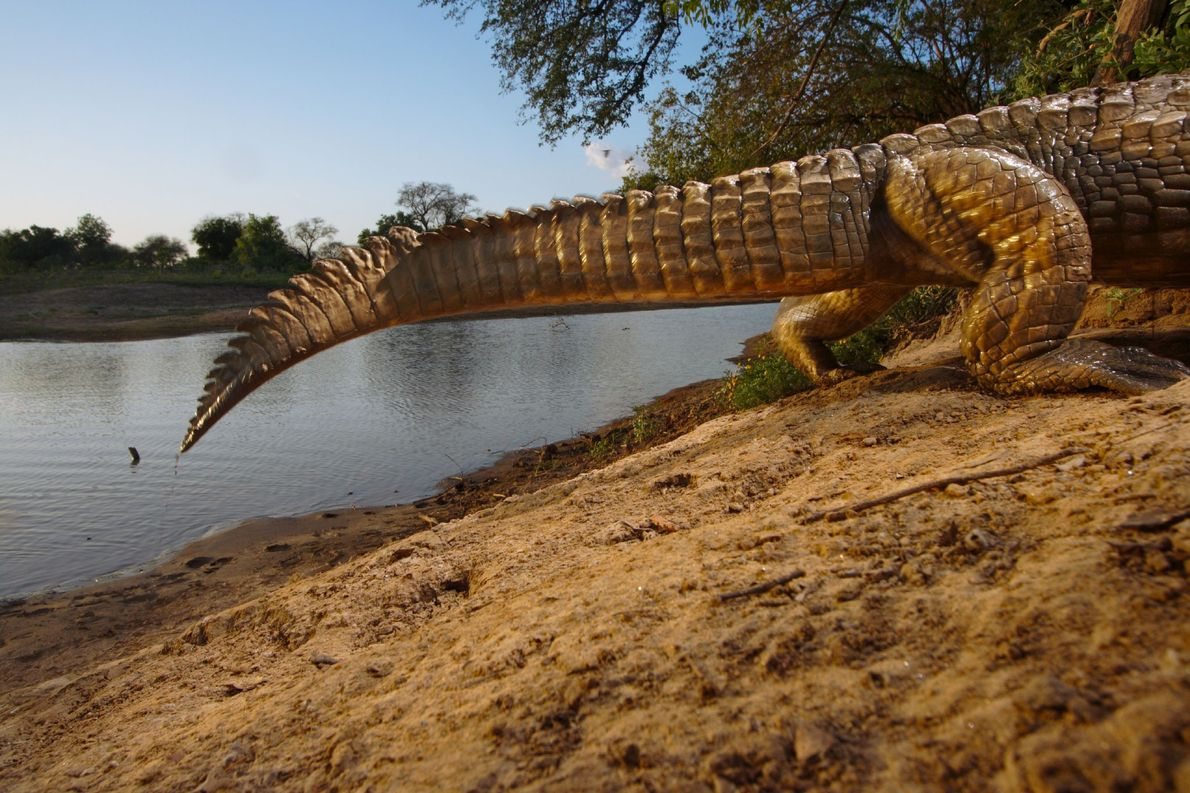 A remote camera catches the tail-end of a crocodile crawling into its den at Zakouma National …