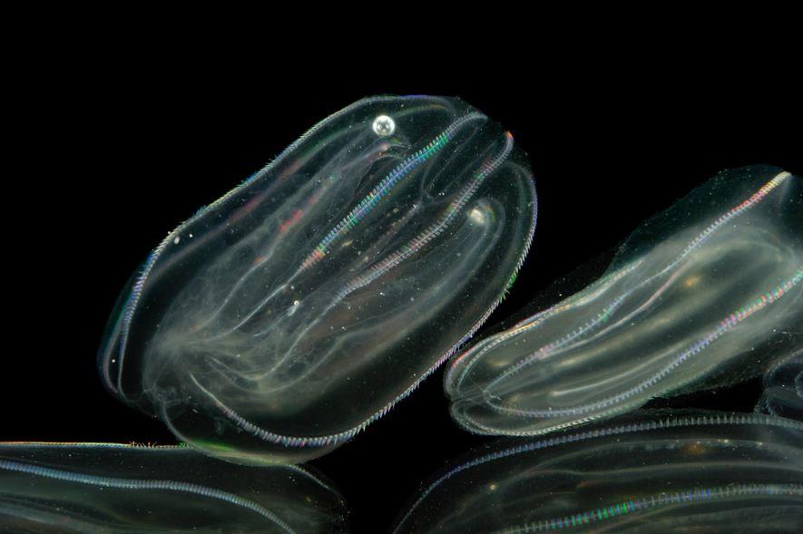 Sea walnut jellyfish rest in the water at the Gulf Specimen Marine Lab and Aquarium in ...
