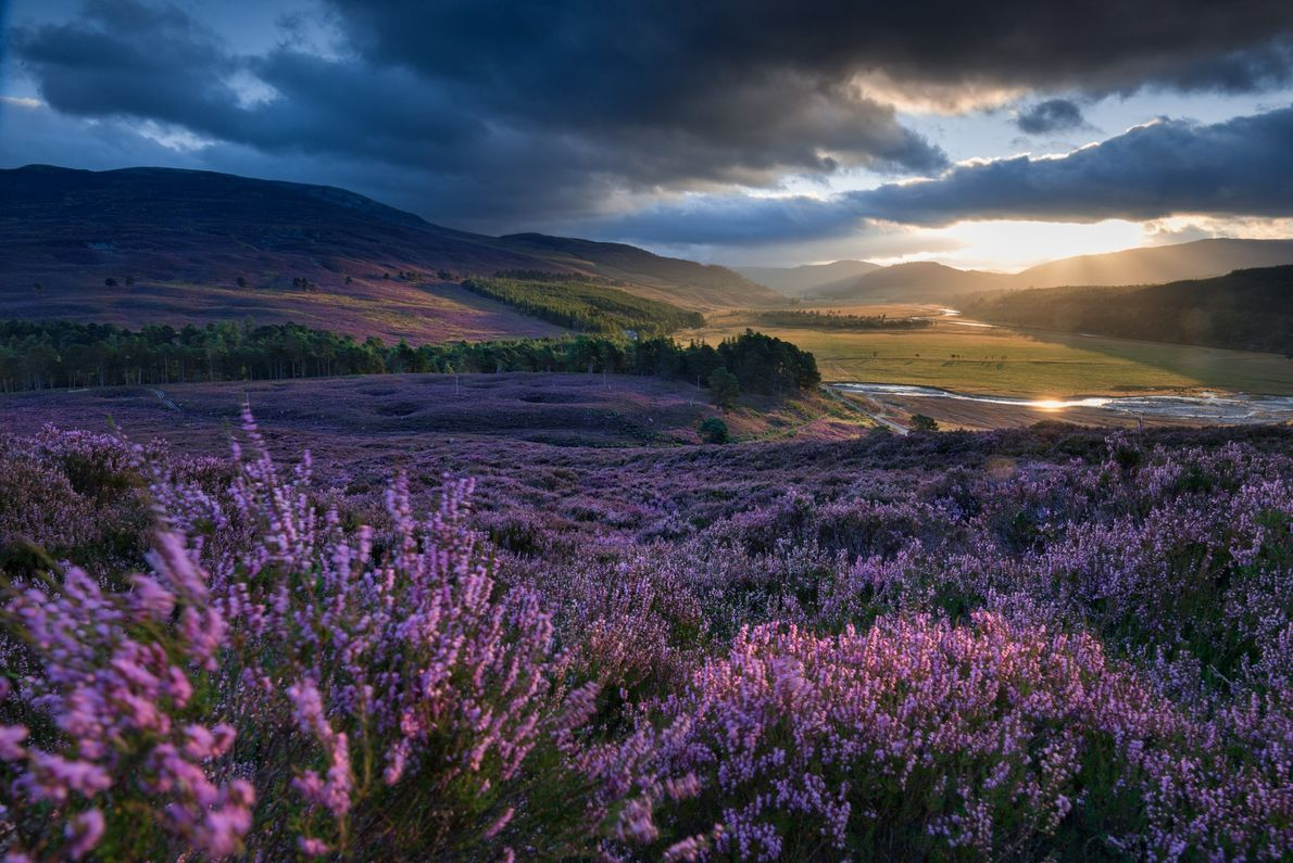 The trademark of moorland is heather, a perennial that blooms in shades of pink and white ...