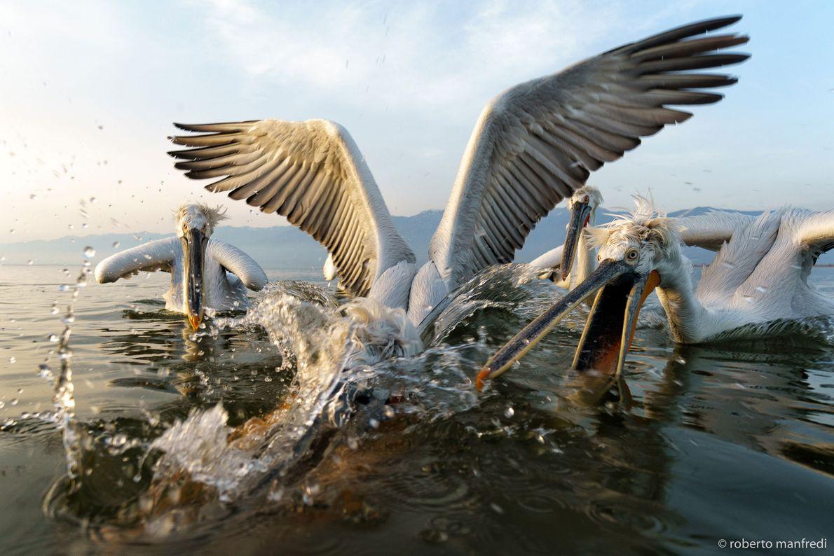 Pelicans squabble in Greece.