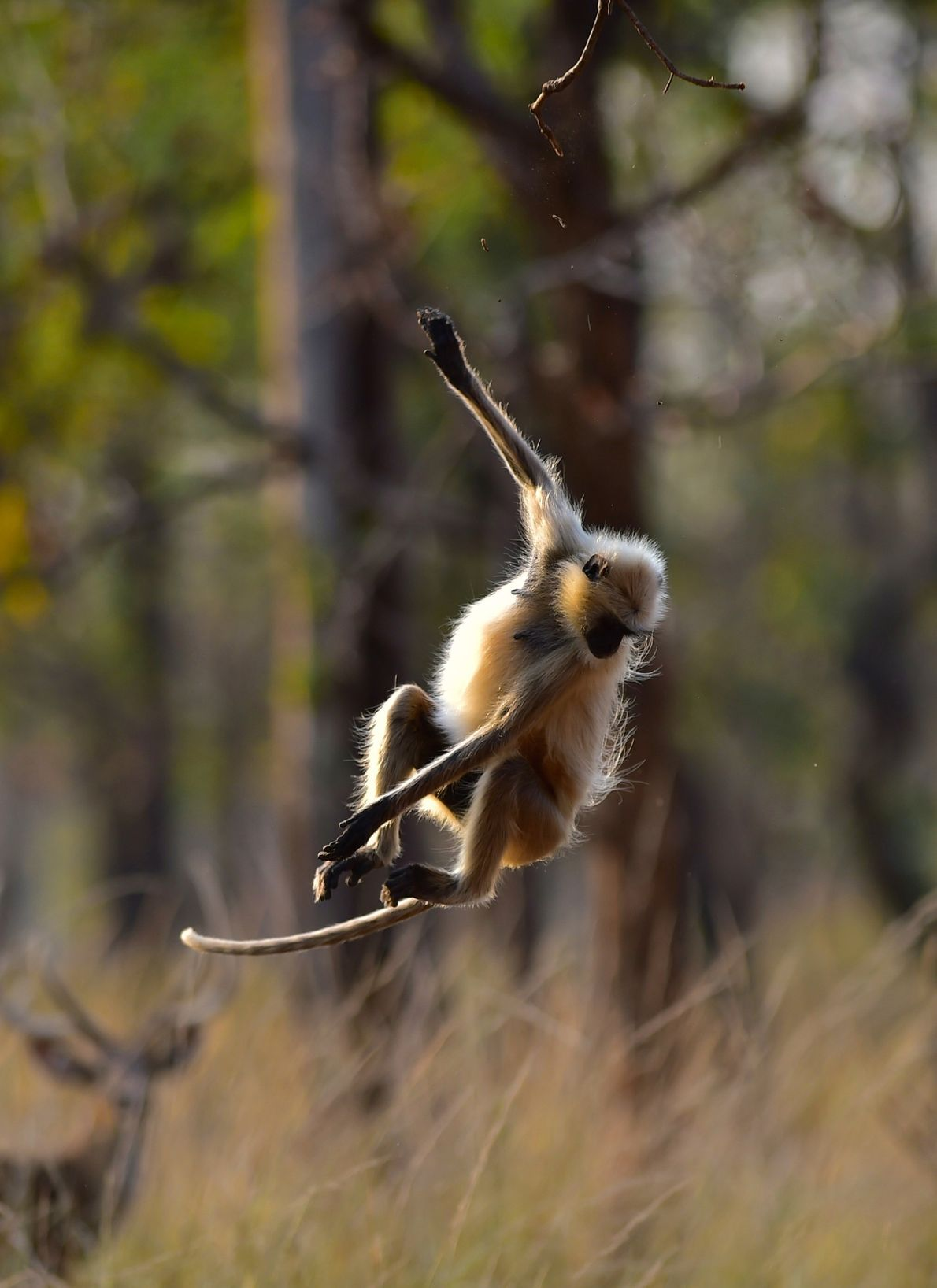 A langur jumps from a branch of a tree in Madhya Pradesh, India.