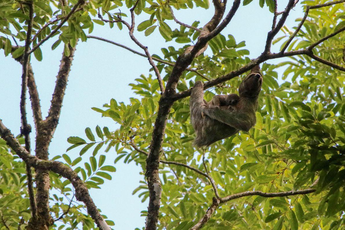 A sloth photographed at Puntarenas, Costa Rica.