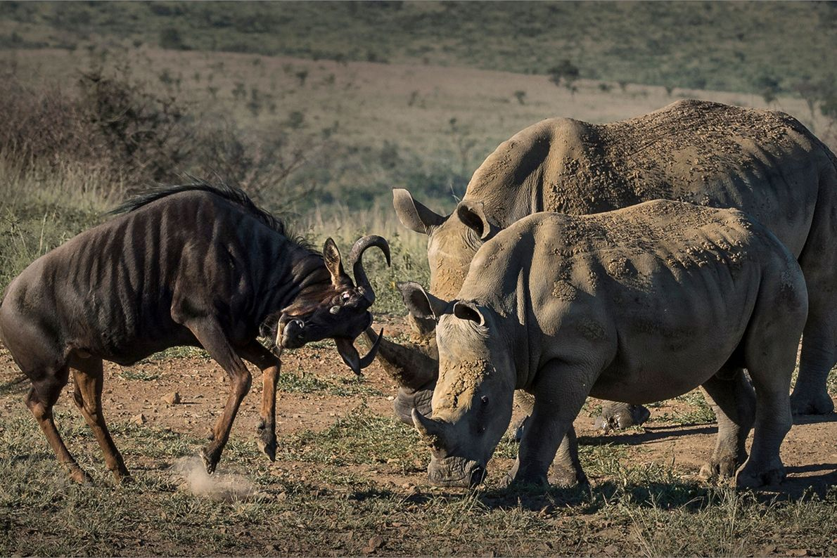 Rhinceroses face off against a wildebeest.
