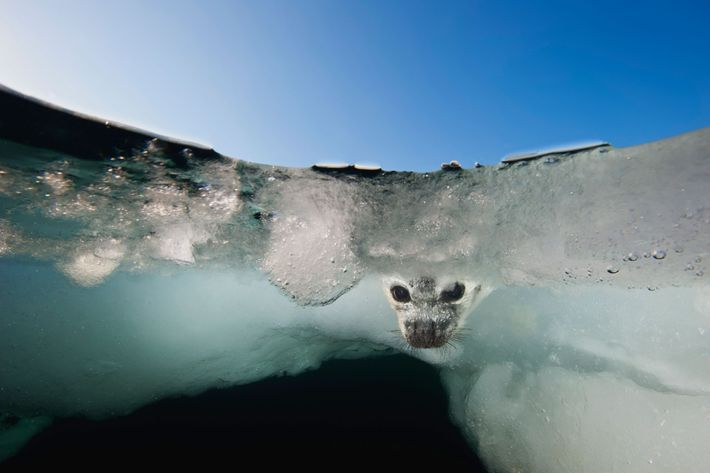 From a greatly diminished ice pack in the Gulf of Saint Lawrence, a harp seal pup ...