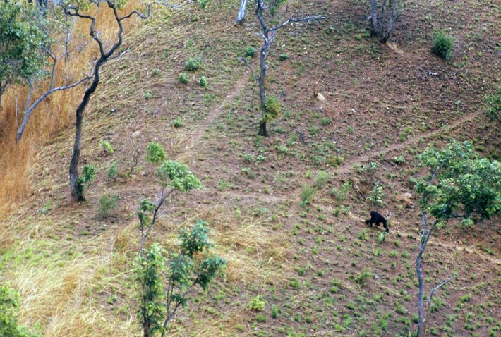 Prey clamped in teeth, a meat-eating ape hurries to cross an exposed ridge. Chimpanzees in the ...