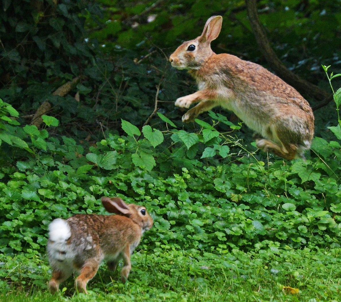 Two young rabbits playfully chase each other in the grass.