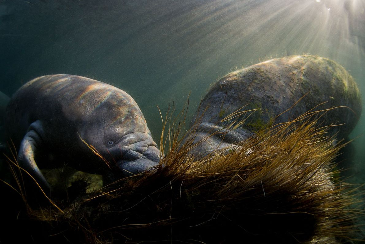 Manatees in the Crystal River, Florida, USA.