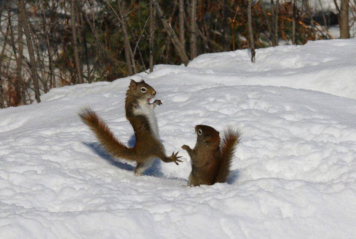 Red squirrels argue in Ontario.